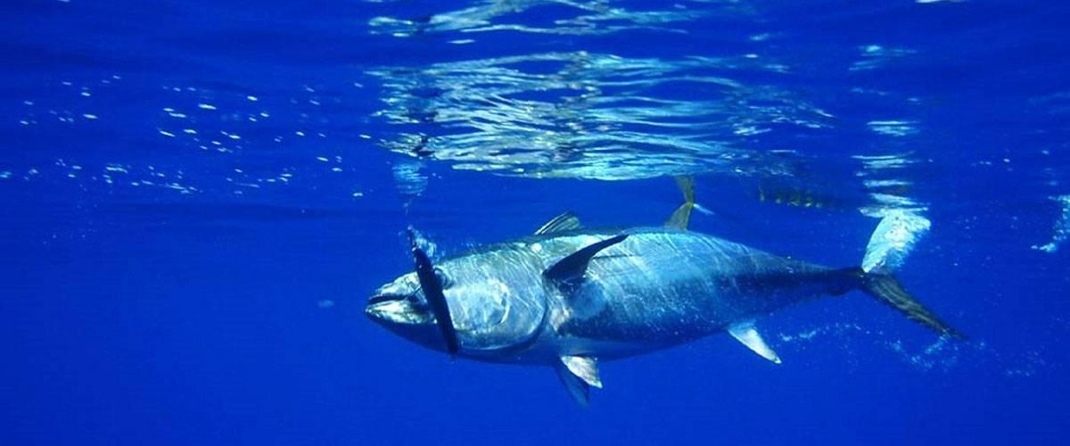 Verdensdagen for tunfisk